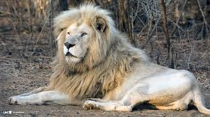 male lion wallpapers lion wallpapers page 32