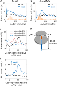 Mrna Programmed Translation Pauses In Targeting E Coli