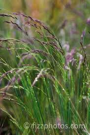 782 best an ornamental grasses images on ornamental