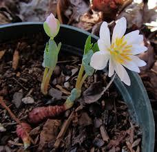 native plants of arkansas bloodroot plant of the year using georgia u0027s native plants