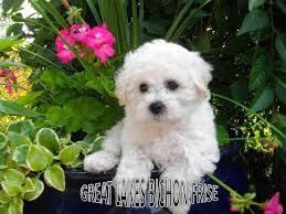 bichon frise puppy 8 weeks great lakes bichon frise bichon frise puppies for sale