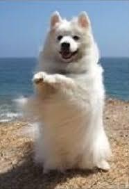 american eskimo dog forum the standard american eskimo dog is an intelligent energetic