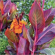 Canna Lily Shop Garden State Bulb Container Tropicanna Canna Lily L10956 At