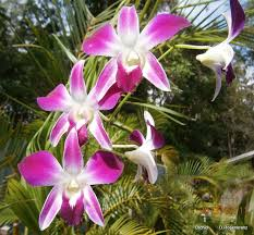 Dendrobium Orchid 90 Best Dendrobium Orchids Images On Pinterest Dendrobium