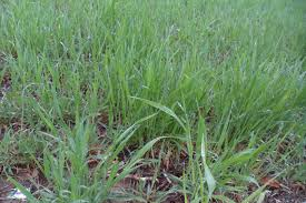 the perennial agriculturalist wheat wheatgrass and jerusalem