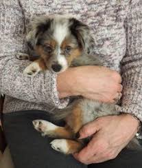 australian shepherd los angeles rescue los angeles ca australian shepherd border collie mix meet hope
