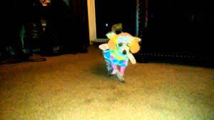yorkie halloween costumes spirit the yorkie halloween costume youtube