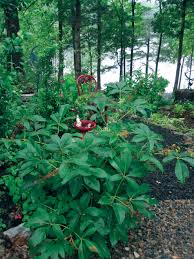 mississippi native plants red buckeye mississippi gardener plants