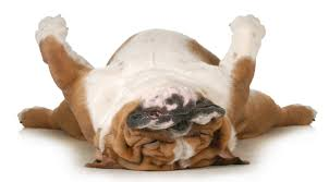dog snoring why dogs snore remedies and treatments dogs cats
