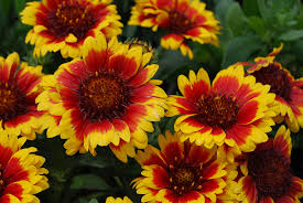 10 Perennials That Thrive In by 14 Sun Loving Perennials Anyone Can Grow Costa Farms