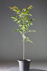 wallnussbaum juglans regi günstig kaufen