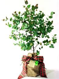 eucalyptus ornamental trees for sale at trees direct
