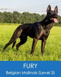 belgian shepherd dog puppies for sale fury belgian malinois level 3 scotts police k9 elite