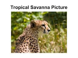Tropical Savanna Dominant Plants - biomes group of ecosystems that have the same climate and dominant