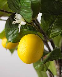 meyer lemon tree balsam hill