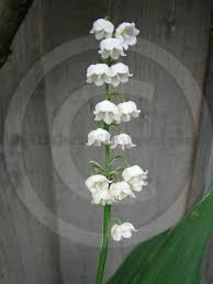 Lily Of The Valley Flower Lily Of The Valley Suppliers U2014 British Cut Flowers