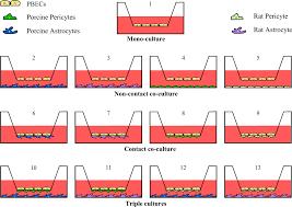 Blood Brain Barrier Anatomy A Triple Culture Model Of The Blood Brain Barrier Using Porcine