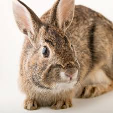 eastern cottontail rabbit national geographic