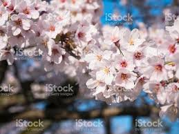 flower up cherry blossom tree branch stock photo more