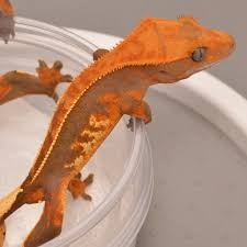 Halloween Crested Gecko Morph by High End Crested Geckos Soft Scales U0026 Super Softs