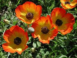 Ranunculus Ranunculus Are Related To Buttercups Anemones Delphiniums And