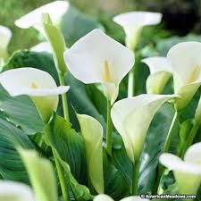 calla lillies white florist calla zantedeschia aethiopica american