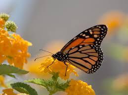 monarch butterfly and yellow lanthana desktop wallpaper full