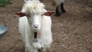 Get Your Goat Rentals by Eating Machines U0027 Proposal Could Allow Goats To Groom Yards In