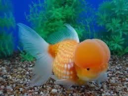 450 best golden fish images on golden fish aquarium