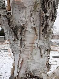 birch tree wrapping paper 499 best crafts birch bark images on birch bark