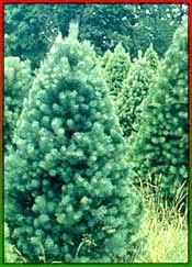 christmas tree evolution origin of christmas tree evolution of