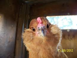 what breeds are my chickens backyard chickens