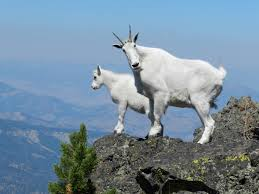 Horn And Hoof Flag How Do Mountain Goats Get Their Incredible Cliff Climbing Skills
