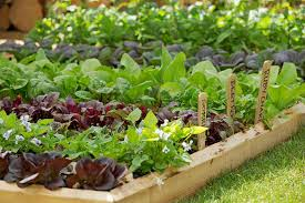 kitchen gardening ideas growing vegetables in gardens rhs caign for gardening