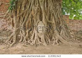 sandstone buddha bodhi tree roots stock photo royalty free