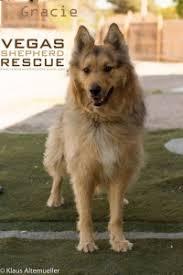 belgian sheepdog rescue colorado adopted dogs vegas shepherd rescue