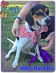 bluetick coonhound for sale in va miles barkley adopted puppy arlington va treeing walker