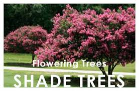 shade flowering trees newman s nursery