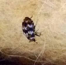 Rug Bugs Pantry Beetles Grain Weevils Spider Beetles Meal Worms And