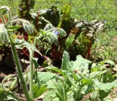 companion plants for vegetable garden