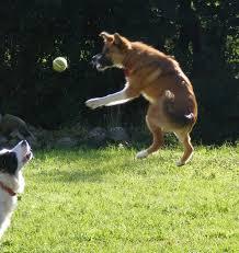 serena parker afghan hound judge border collie playing fun animals wiki videos pictures stories