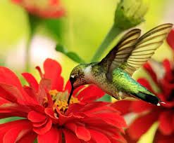 Hummingbird On A Flower - wild about birds how to attract hummingbirds