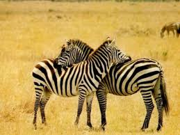 download animals zebra wallpapers images photos and pictures