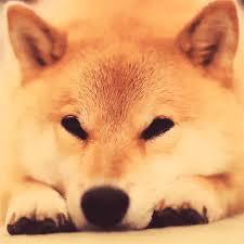 Doge Meme Tumblr - doge shibe doge meme gif wifflegif