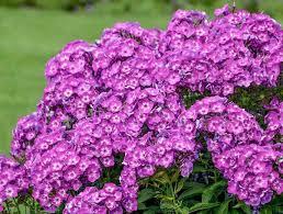 phlox flower phlox paniculata garden phlox