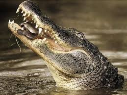 New Jersey snorkeling images Nj woman killed by crocodile attack while snorkeling off indian jpg