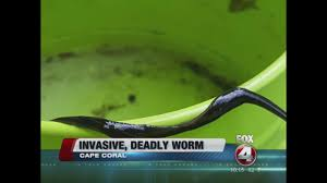new guinea flatworms found in cape coral fox 4 now wftx fort