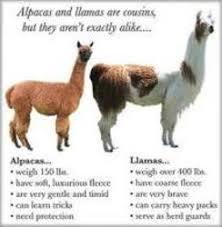 Alpaca Sheep Meme - rising sun exotics alpaca vs llama what are the differences