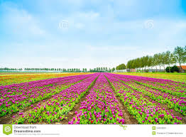 tulip blosssom flowers cultivation field in spring holland or