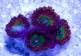 where can i buy candy apple buy candy apple palythoa polyp coral online and on sale at www